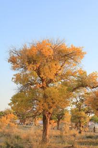 额济纳胡杨树林