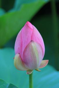 粉红荷花花苞
