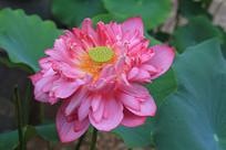 荷塘莲花盛开