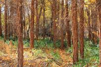 胡杨林原始森林