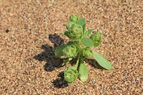 沙漠中发芽的绿植