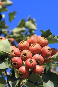 山楂红果子
