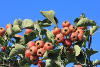 山楂树结红果