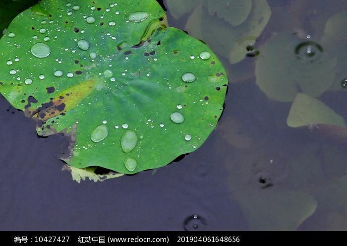 雨露荷叶图片