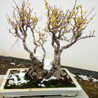 腊梅盆景园艺装饰