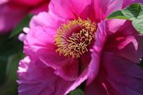 牡丹花局部花瓣的特写