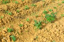农家土埂和菜地上的农作物
