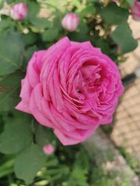 一朵粉月季多层花瓣