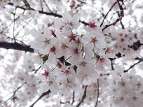 粉白色的樱花