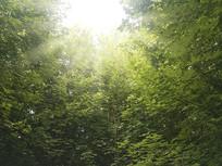 光线枫叶林素材