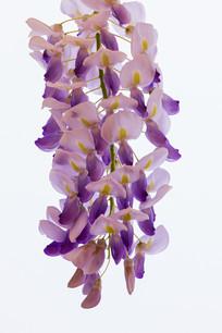 白色背景下一串紫藤花