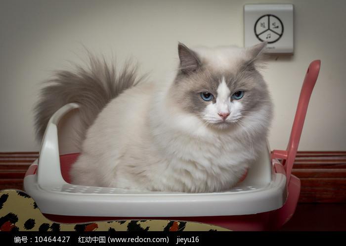 便便中的布偶猫图片