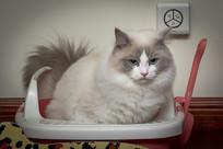 便便中的布偶猫