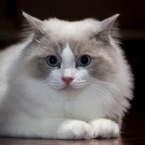 布偶猫标准卧的颜值