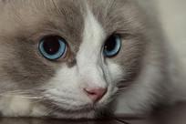 布偶猫侧脸蓝眼睛特写