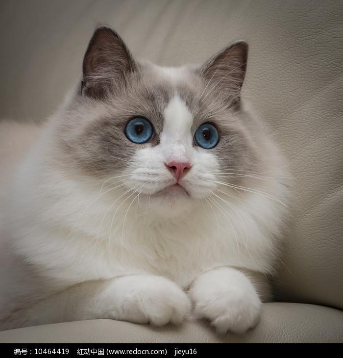 布偶猫好奇神态图片