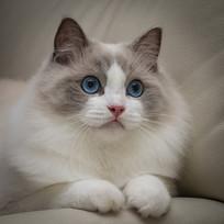 布偶猫好奇神态