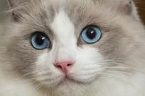 布偶猫脸部特写