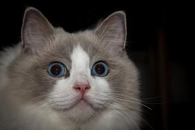 布偶猫凝视的目光