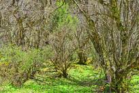 高原原始森林的陕甘花楸树林