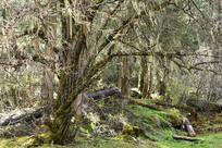 高原原始森林林地的冷杉树林