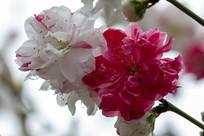 红白连珠二色桃花