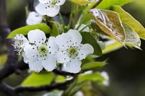 洁白花盖梨花
