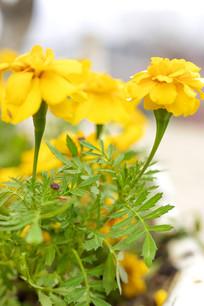 露珠黄色花朵