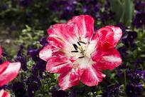 盛开的蔷薇花蕾特写