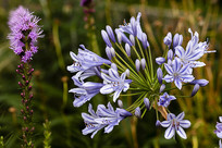 紫色百子莲与蛇鞭菊