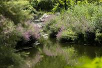 湖边的水柳花