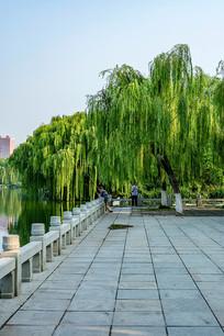 济南大明湖畔的垂柳
