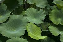 绿色的荷花叶子