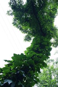 奇怪的大树