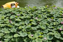 泉城公园的荷塘