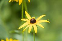 一朵黑心金光菊