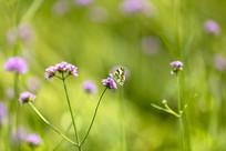 紫顶龙芽草