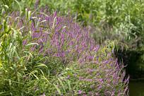 紫色的千屈草