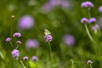 紫色马鞭草和蝴蝶