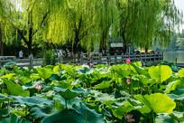 大明湖荷塘
