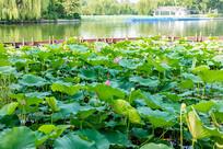 大明湖荷塘美景