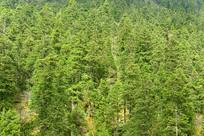高原原始森林中的冷杉树丛林