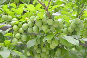 果实累累的李子树