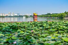 济南大明湖荷花美景