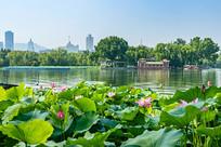 济南大明湖荷塘风光