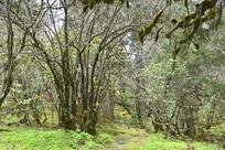 青藏高原原始的灌木丛林