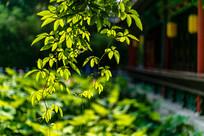 阳光照耀下的树叶
