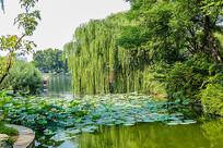 济南大明湖的荷塘