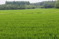 绿色稻田风光