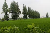 绿色稻田美